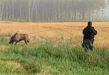 Bull elk entangled near Grande Prairie freed by 'rodeo roping and deep sea fishing techniques'