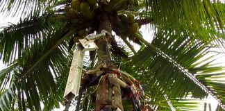 Amaran the Tree-Climbing Robot Can Safely Harvest Coconuts