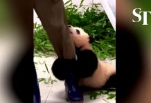 Baby panda won't let go of zookeeper