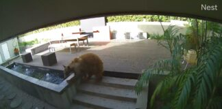 Bear enters Pasadena home and is chased off by two small terriers